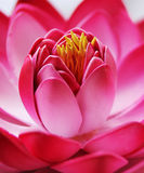 Dekorativ lotusblommacloseup Royaltyfri Bild