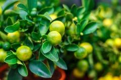 Dekorativ mandarinväxt arkivbild