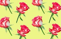 Dekorativ modell av ljusa rosa rosor royaltyfria foton