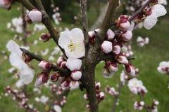 Dekorativ oavkortad blom för körsbärsröd blomning Arkivbilder