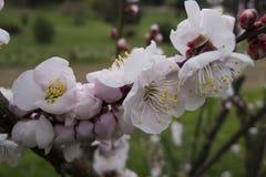 Dekorativ oavkortad blom för körsbärsröd blomning Arkivfoto