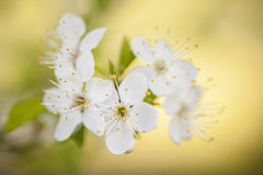 Dekorativ oavkortad blom för körsbärsröd blomning Royaltyfri Fotografi