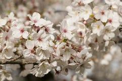Dekorativ oavkortad blom för körsbärsröd blomning Royaltyfri Foto