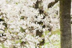 Dekorativ oavkortad blom för körsbärsröd blomning Arkivfoton