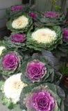 Dekorativ oleracea för kålJapan brassica Arkivfoton
