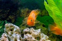 Dekorativ orange papegojafisk för härligt akvarium Royaltyfri Fotografi