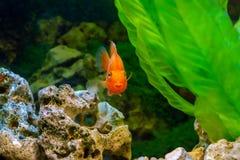 Dekorativ orange papegojafisk för härligt akvarium Arkivfoton
