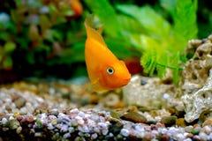 Dekorativ orange papegojafisk för härligt akvarium Arkivfoto