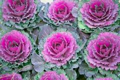 dekorativ purple för kål Royaltyfri Fotografi