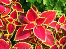 Dekorativ röd Coleuscloseup Fotografering för Bildbyråer