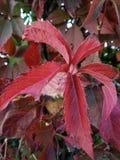 Dekorativ röd växt Arkivfoton