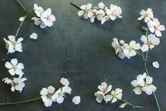 Dekorativ ram från filialer av en blomningmandel Begrepp av Royaltyfria Bilder