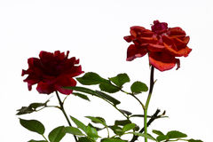 Dekorativ rosa closeup Arkivbilder