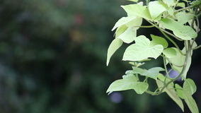 Dekorativ sötpotatisvinranka lager videofilmer