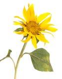 dekorativ solros Arkivfoto