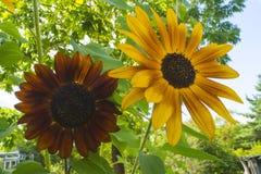 dekorativ solros arkivbild