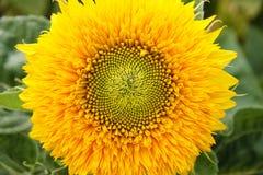 Dekorativ solros med härliga gula kronblad På kärnan av blomman är en droppe av regn Makro Royaltyfri Bild