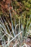 Dekorativ starrgräs på naturlig gräsplan och brun bakgrund Dekorativt gräs i trädgården royaltyfri foto