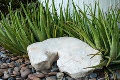 Dekorativ sten och aloe vera Arkivbilder