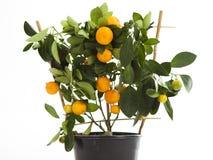 Dekorativ tangerine royaltyfri fotografi