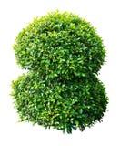 Dekorativ växt Royaltyfria Foton