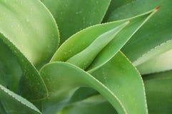 dekorativ växt Fotografering för Bildbyråer