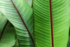 dekorativ växt för bananblod Royaltyfri Foto