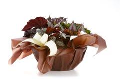 dekorativ växt för begonia Arkivbilder