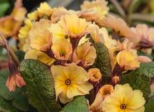 Dekorativa blomma blommor Primel Peach Melba för vår primrose Närbild Royaltyfri Foto