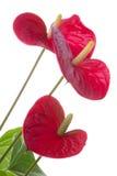 dekorativa blommablommor för anthurium Royaltyfri Foto
