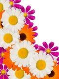 dekorativa blommor för camomile Arkivfoton