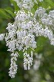 Dekorativa blommor för Cladrastiskentukea i blom, vitt blomningträd fotografering för bildbyråer