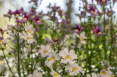Dekorativa blommor för Nemesia strumosa i blom, vit med den gula mitten Royaltyfria Bilder