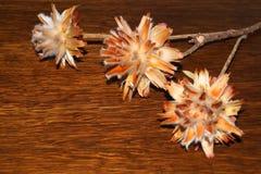 Dekorativa blommor från tistel Arkivbild