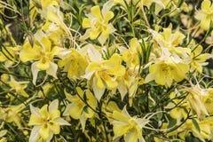 Dekorativa blommor gula Aquilegia Royaltyfria Foton