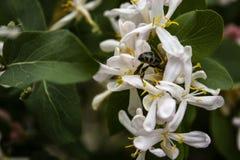 Dekorativa Bush som blommar med vita blommor arkivfoto
