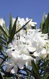 Dekorativa buskar för oleander med vita blommor Fotografering för Bildbyråer