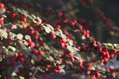 Dekorativa buskar med röda bär Cotoneaster royaltyfri foto