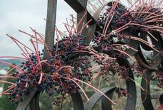 Dekorativa druvor på ett staket Royaltyfri Bild