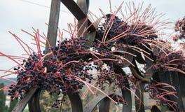 Dekorativa druvor på ett staket Fotografering för Bildbyråer