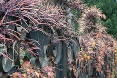 Dekorativa druvor på ett staket Arkivbild