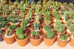 Dekorativa färgrika kaktusblommor i små modeller för krukagruppnatur på bakgrund royaltyfria bilder
