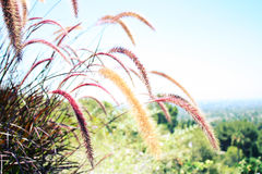 Dekorativa gräs i en kalifornierträdgård Arkivbild