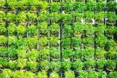 Dekorativa gröna små växter med den vita blomman i den svarta krukan som är dekorativ på väggbakgrund royaltyfri fotografi