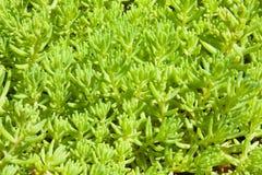 dekorativa gröna växter för bakgrund Royaltyfri Foto