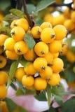 Dekorativa gula äpplen Arkivbilder