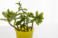 Dekorativa hemväxter och blommor Arkivfoton