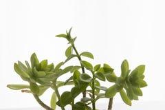 Dekorativa hemväxter och blommor Royaltyfria Bilder