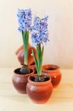 dekorativa hyacint Royaltyfria Bilder