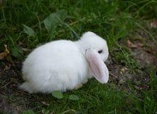 Dekorativa kaniner arkivbild